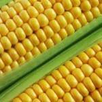 z kukurydza